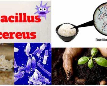 Habitat of Bacillus cereus