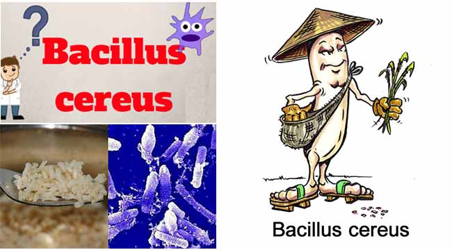 Clinical manifestation and Pathogenicity of Bacillus cereus