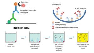 Indirect ELISA- Introduction, Steps, Advantages and Protocol