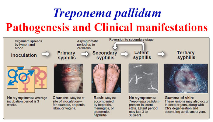 Pathogenesis and Clinical manifestations of Treponema pallidum