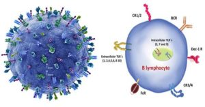 B Cells (B-Lymphocytes)