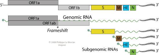 Genome of Torovirus