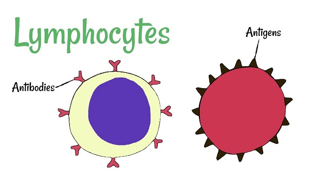 Lymphocytes- Types and Functions