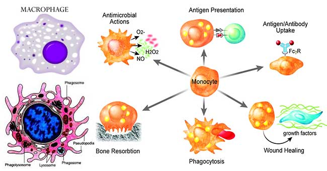 Macrophages- Introductions and Functions