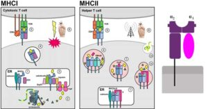 Major Histocompatibility Complex (MHC)- Types and Importance