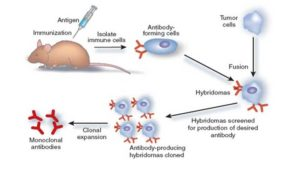 Monoclonal Antibodies- Types, Uses and Limitations