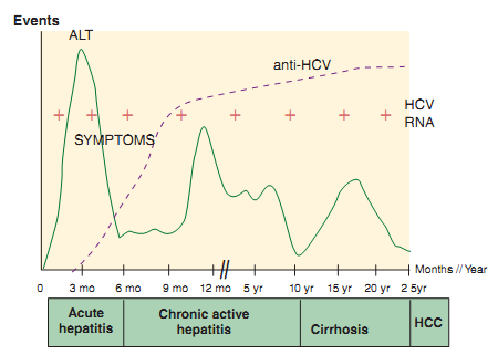 Replication of Hepatitis C Virus