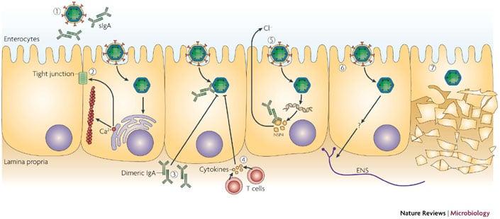 PathogenesisofRota Virus