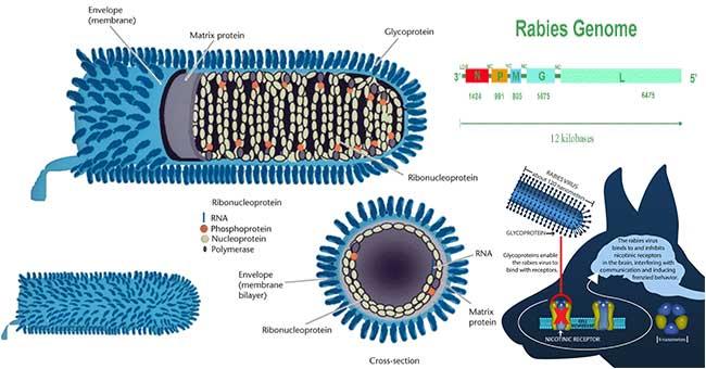 rabies virus diagram rabies virus - microbiology notes