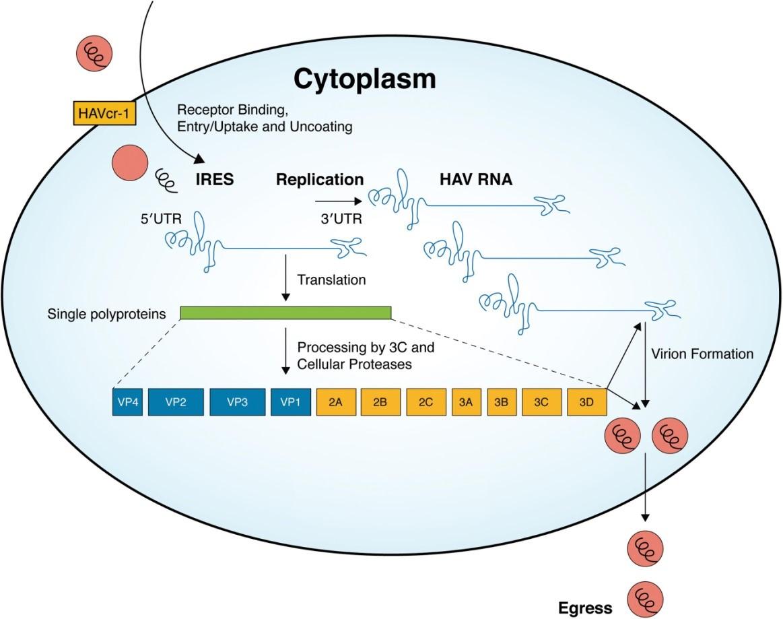 ReplicationofHepatitis A Virus