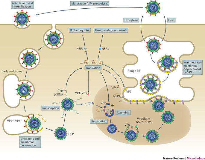 Replication of Rota Virus