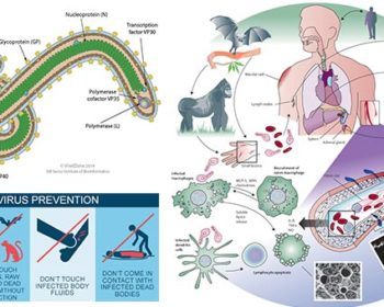 Ebola Virus- Structure, Genome, Epidemiology, Transmission, Replication, Pathogenesis, Clinical Manifestation, Lab Diagnosis, Treatment, Prevention and Control