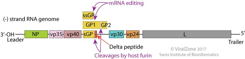 GenomeofEbola Virus