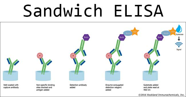 Sandwich ELISA- Steps and Advantages