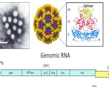 Structure and Genome ofNorwalk Virus