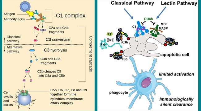 Classical Pathway of Complement Activation