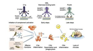 Complement Activation- Classical, Alternative and Lectin Pathways