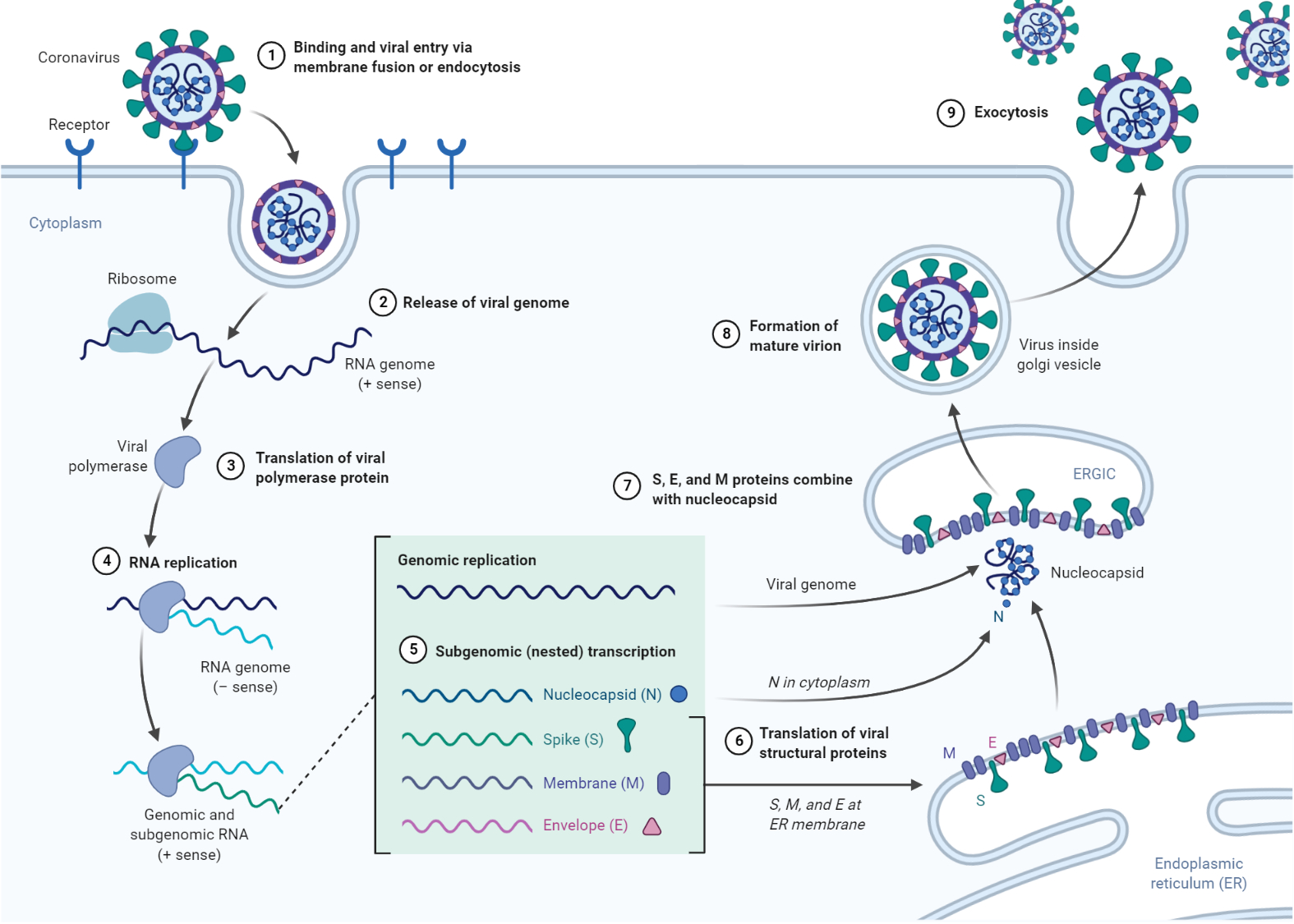 Replication of Coronavirus
