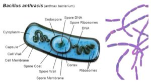 Biochemical Test of Bacillus anthracis