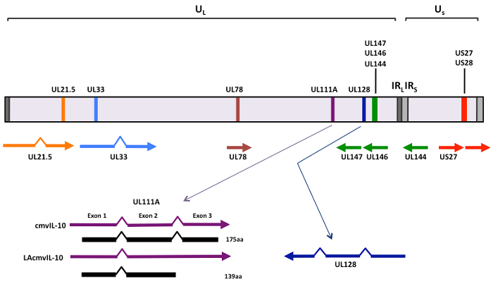 Genome of Human Cytomegalo Virus
