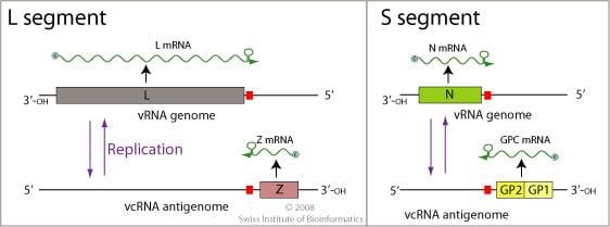 Genomeof Lassa Virus