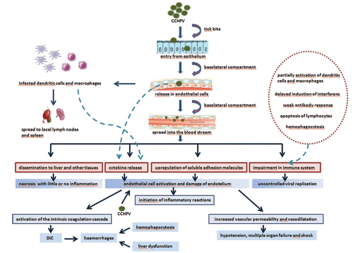 Pathogenesis of Crimean-Congo Hemorrhagic Fever