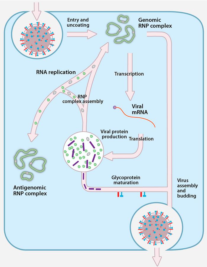 ReplicationofCrimean-Congo Hemorrhagic Fever Virus