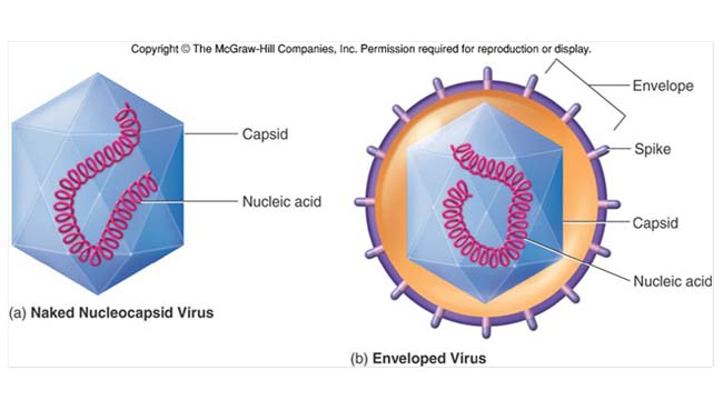 Viruses- Structure, Replication and Diagnosis