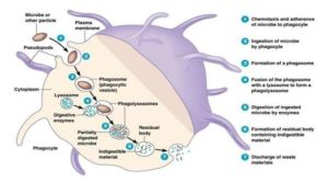 Phagocytosis- Introduction, Mechanism, Steps and Example