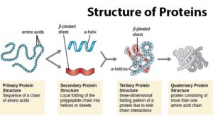 Protein Structure- Primary, Secondary, Tertiary and Quaternary