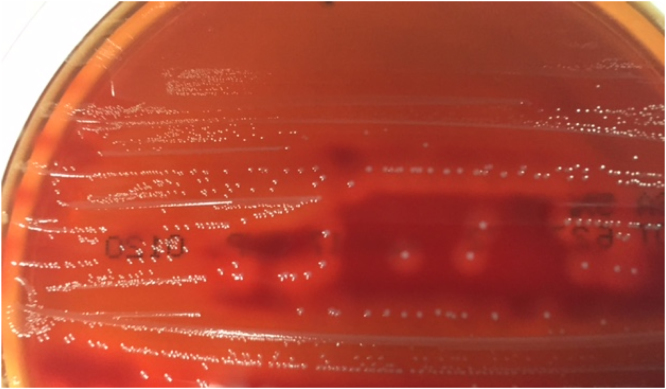 Streptococcus canis