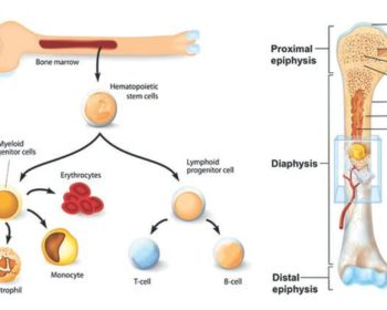 Bone Marrow- Types, Structure and Functions