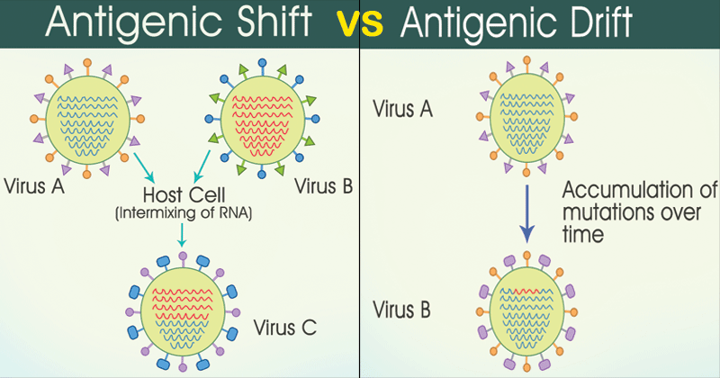 Differences Between Antigenic Shift and Antigenic Drift