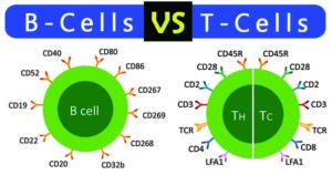 Differences between B Cells and T Cells