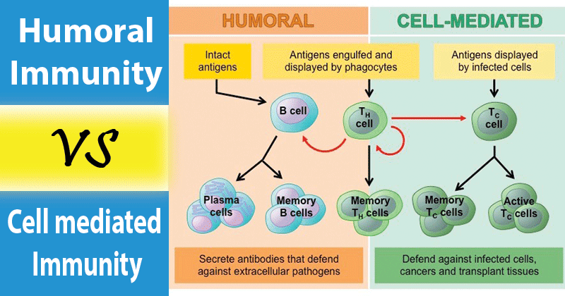 immunity humoral mediated cell between differences notes