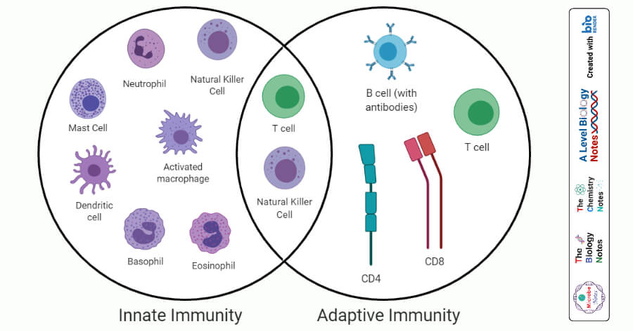 Differences between Innate Immunity and Adaptive Immunity