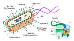Flagella and Pili (Fimbriae)
