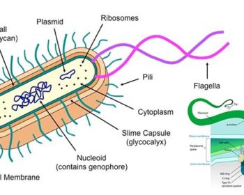 Flagella and Pili (Fimbriae)