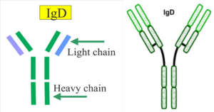 Immunoglobulin D (IgD)- Structure and Functions