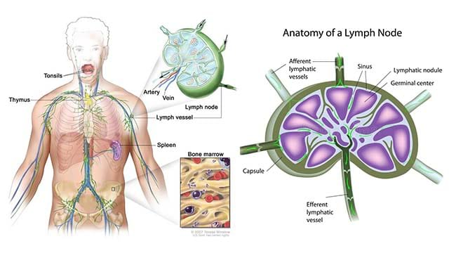 Lymph Nodes Structure And Functions Microbiology Notes