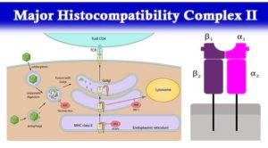 Major Histocompatibility Complex II- Structure, Mechanism and Functions