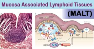 Mucosa Associated Lymphoid Tissues (MALT)