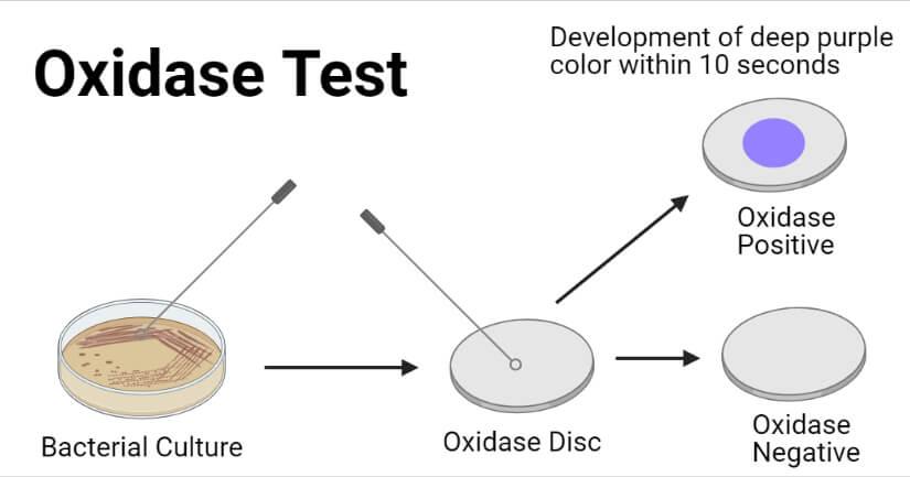 Oxidase Test