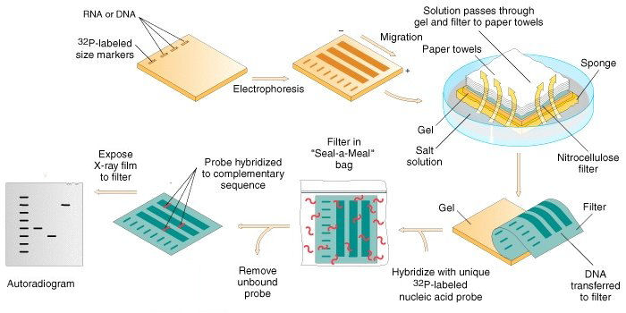 Steps Involved in Southern Blot