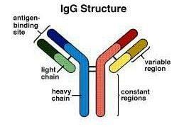 Structure ofImmunoglobulin G (IgG)