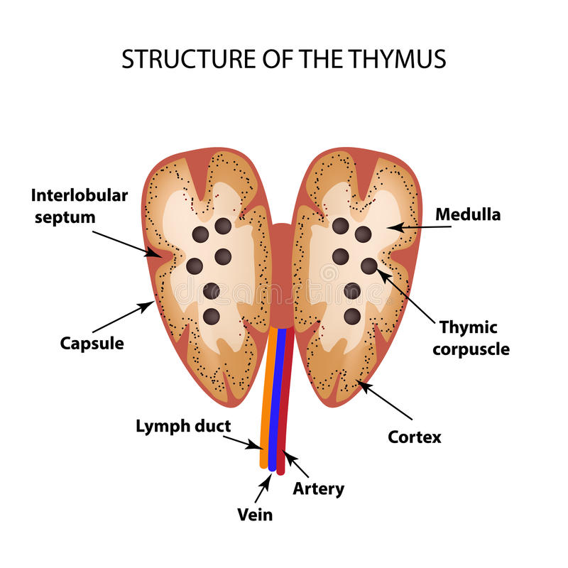 Structure of Thymus