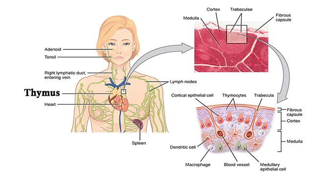 Thymus- Structure and Functions