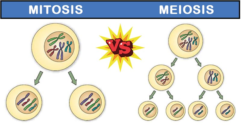 Differences between Mitosis and Meiosis