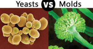Differences between Yeasts and Molds