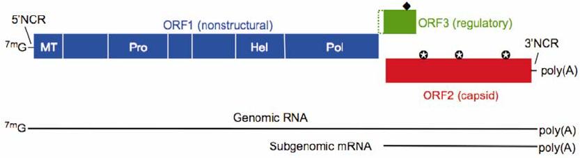 Genome ofHepatitis E Virus